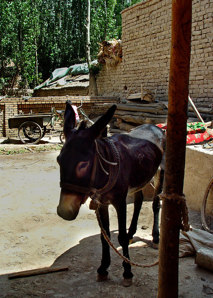 Donkey in courtyard of village home near Kashgar DSC01992.jpg