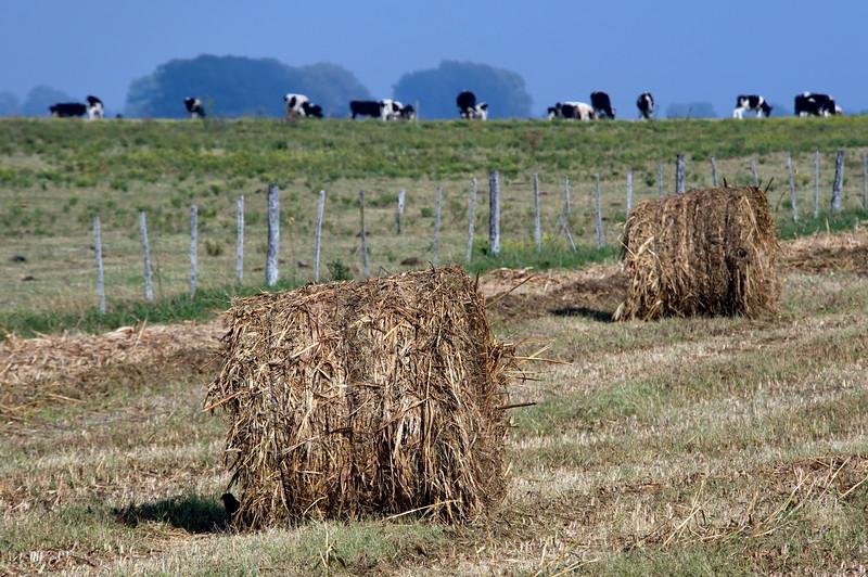 Fardos y vacas