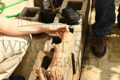 17981 Don Cipollini Emerald Ash Borrer Larva 9-9-16