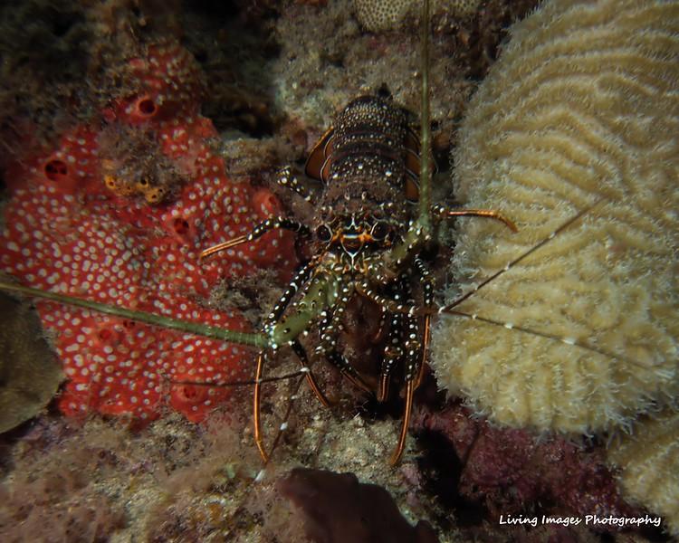 Dom Mar2014 - Lobster1
