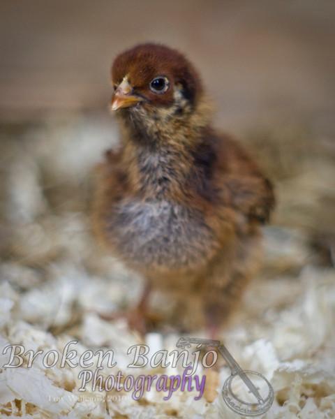Chicks052high.JPG