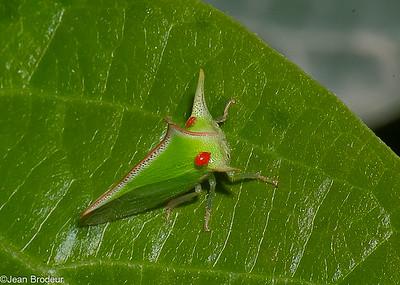 Hemipteres du Perou ; Membracidae ,Cicadellidae ...