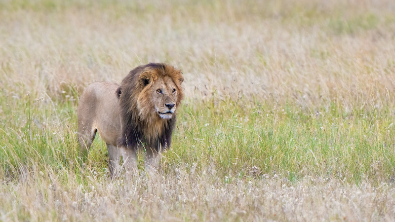 Sergengeti Lion