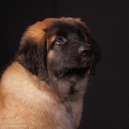 2015 Leonbergers Jonge Honden Dag