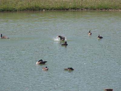 20090803 Canada Goose Bath