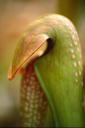 Pitcher plants (Sarracenia)