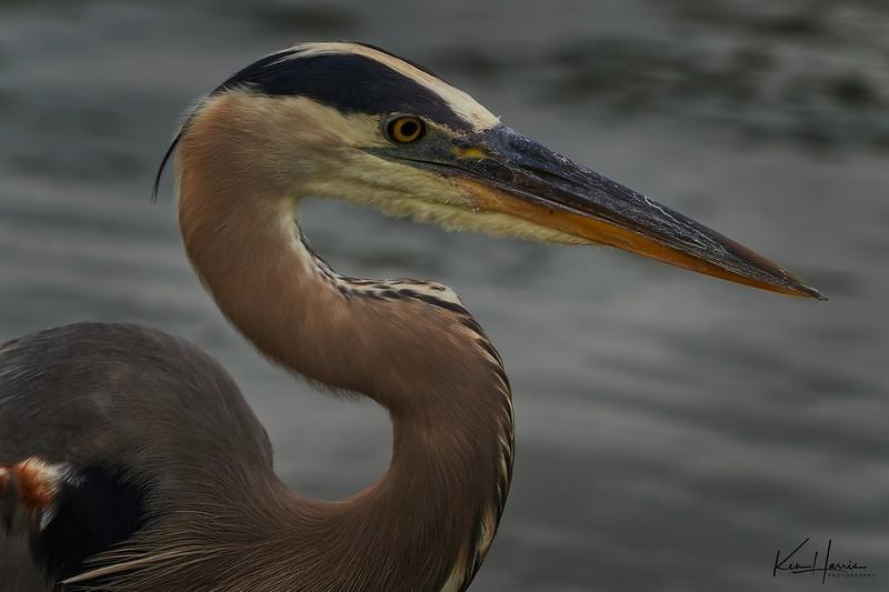 Closeup of Great Blue Heron