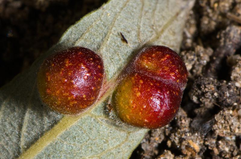 Close up of three galls