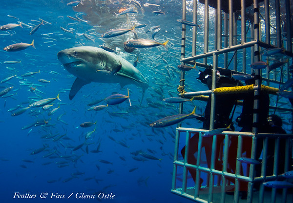 Great White Sharks of Guadalupe Island
