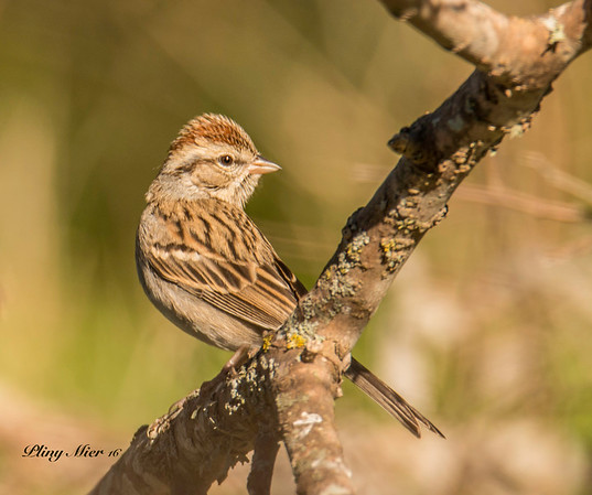 Lincoln's Sparrow_DWL9487.jpg