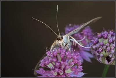 Buxusmot/Box Tree Moth