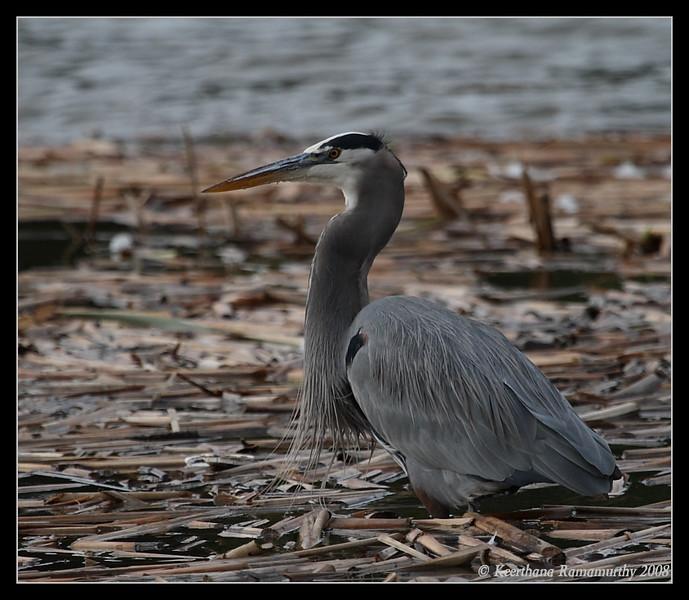 Great Blue Heron, Lindo Lake, San Diego County, California, December 2008