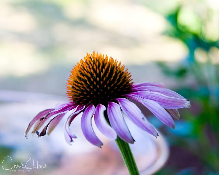 Backyard Echinacea.jpg