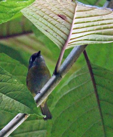 Black-headed Tody-Flycatcher