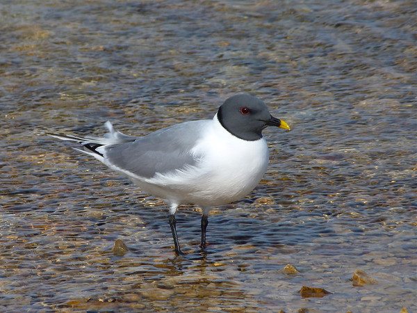 Cambridge Bay, Nunavut Birds