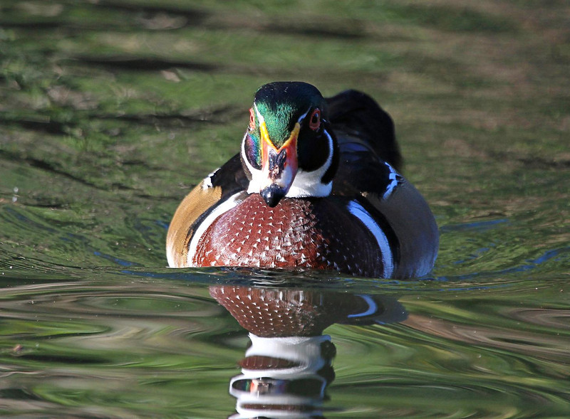 ZZHermann Park Wood Duck, Oct 13, 2011 301A, SMALL.jpg