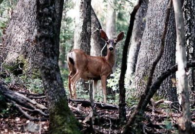 Black-tailed (Mule) Deer