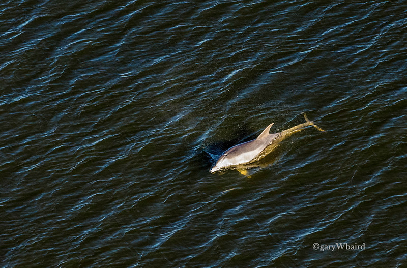 Dolphin from above.jpg