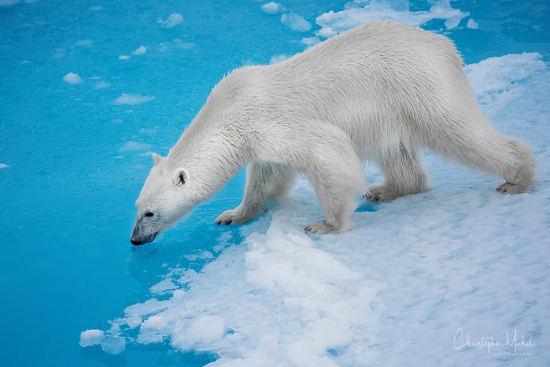 150630_Polar Bear at Ship_9684a.jpg