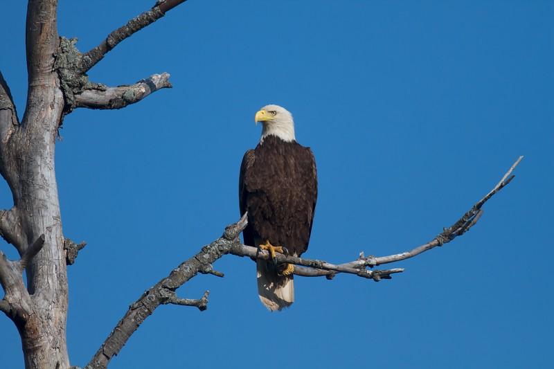 Bald Eagle CR29 Sax-Zim Bog MN IMG_0424.jpg