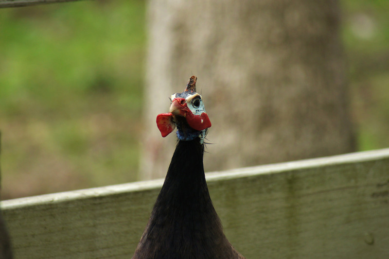 Rubber necker: I'm not exactly sure what kind of bird this is. At first I thought it was a turkey but now I'm not to sure...