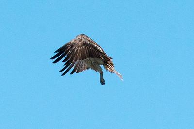 03_Everglades - Short-tailed Hawk