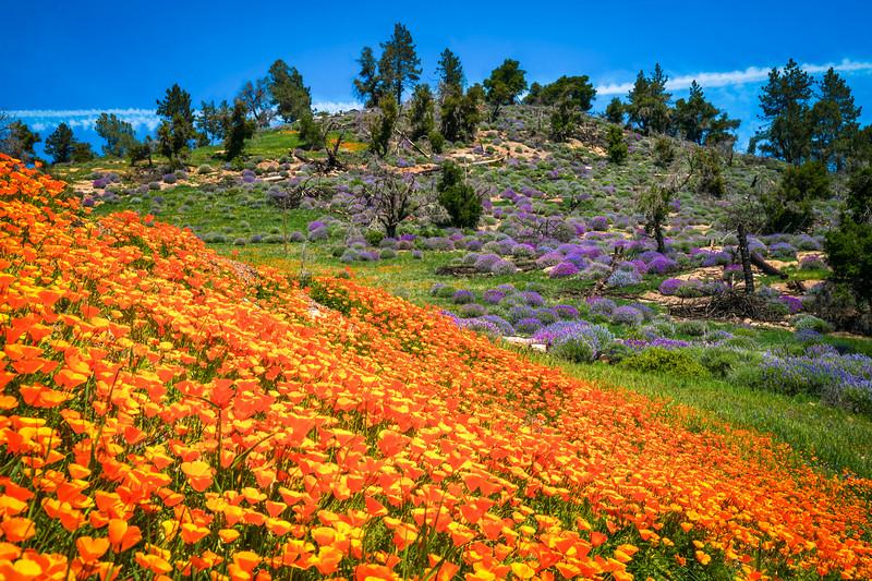 California Poppy Procession: Figueroa Mountain Fine Art Landscape Nature Photography