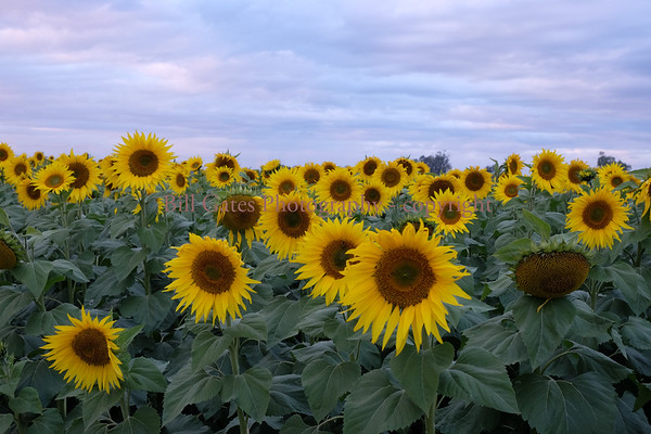 Sunflowers - Imperial Valley