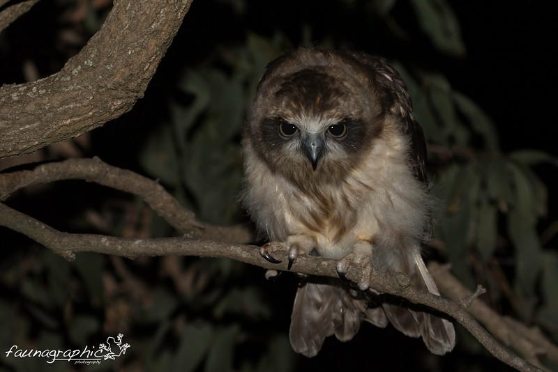 Southern Boobook Owl - Juvenile