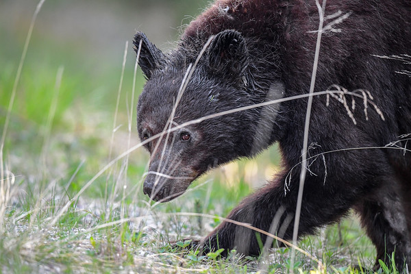 5-27-19 Grubby Brown Bear - Marmot Rd. - Jasper Ab