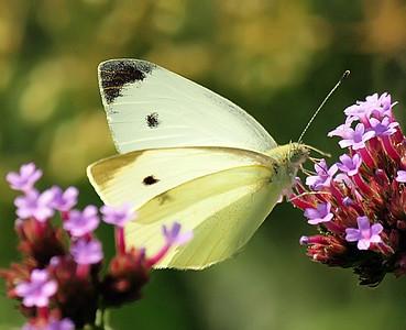 Butterflies, Dragonflies