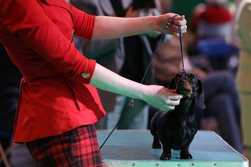 . Dachshund hounds are judged in a show ring on the second day of the Crufts dog show at the NEC on March 7, 2014 in Birmingham, England. Said to be the largest show of its kind in the world, the annual four-day event, features thousands of dogs, with competitors traveling from countries across the globe to take part. Crufts, which was first held in 1891 and sees thousands of dogs vie for the coveted title of \'Best in Show\'.  (Photo by Matt Cardy/Getty Images)