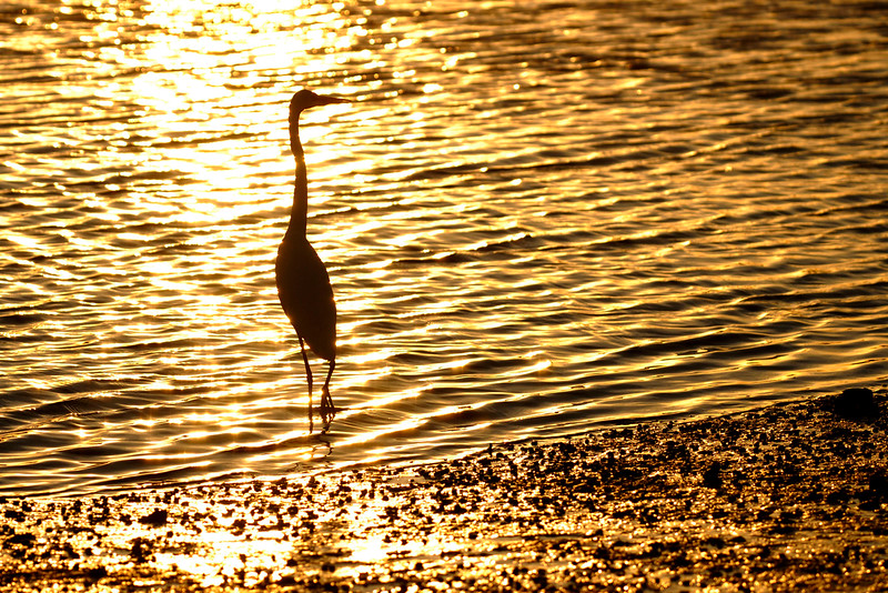 An egret stands out against the setting sun over the marshes in Garden City Beach, South Carolina on Monday, November 14, 2011. Copyright 2011 Jason Barnette