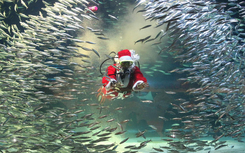 Description of . Dressed in a Santa Claus outfit, a diver feeds to sardines at the Coex Aquarium in Seoul, South Korea, Tuesday, Dec. 11, 2012. Christmas is one of the biggest holidays in South Korea, where over half of the population are Christians. (AP Photo/Ahn Young-joon)