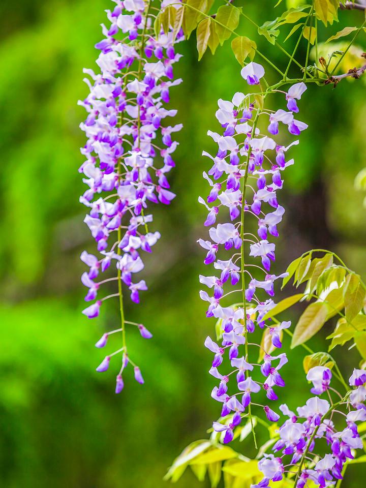 紫藤花,高高挂起