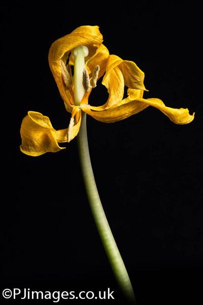 tulips-228-2.jpg