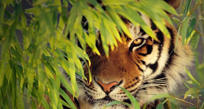 BengalTiger_EN-US877040132.jpg