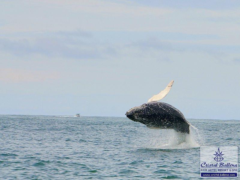 Tours-Whale-Watching-Breaching-Dsc02627a_0600px-wm.jpg