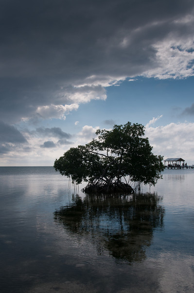Mangrove tree in sunset - Caye Caulker, Belize