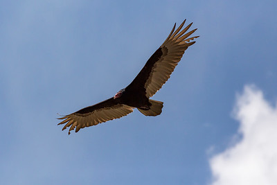 Turkey Vulture 05-15-2018