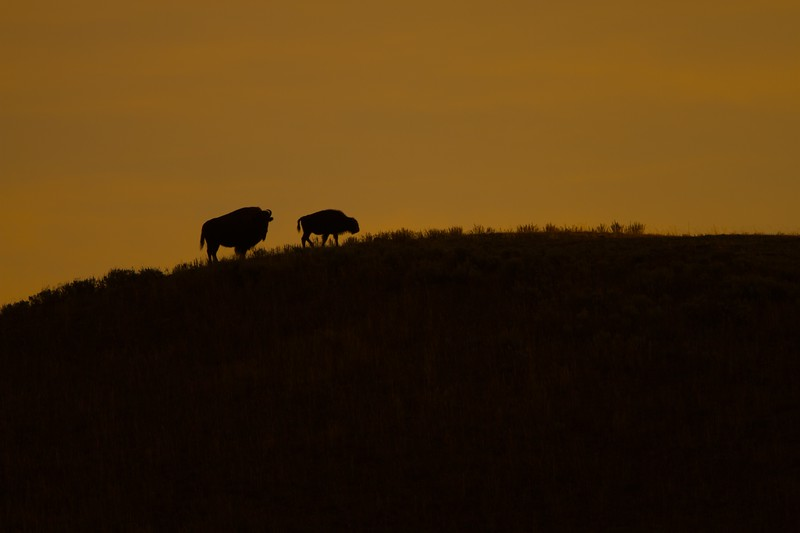 Bison silhouette gold Yellowstone N.P. WY IMG_0068017.jpg