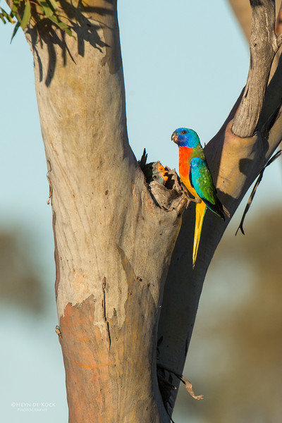 Scarlet-chested Parrot, Gluepot, SA, Aus, Nov 2014-6.jpg