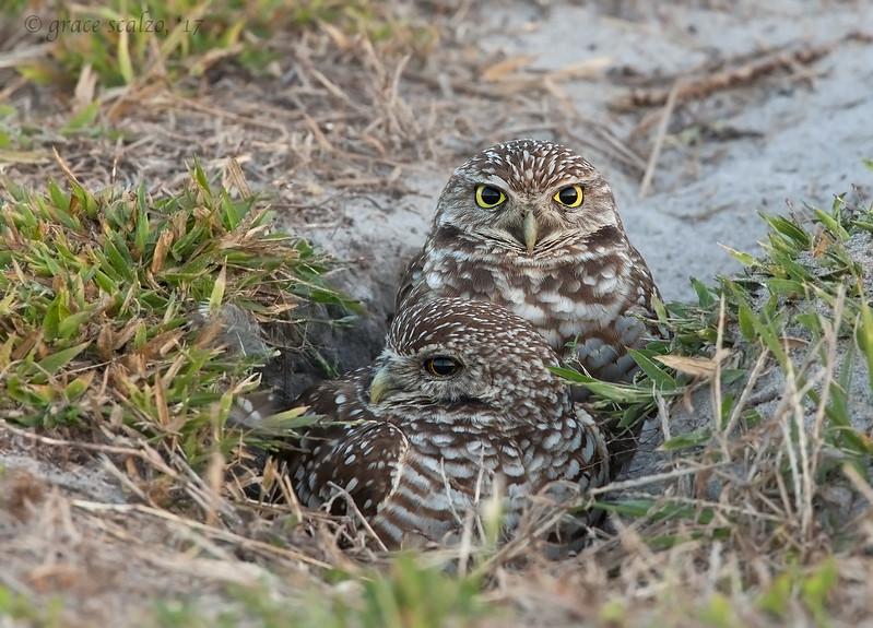 Burrowing Owl Pair in their Burrow