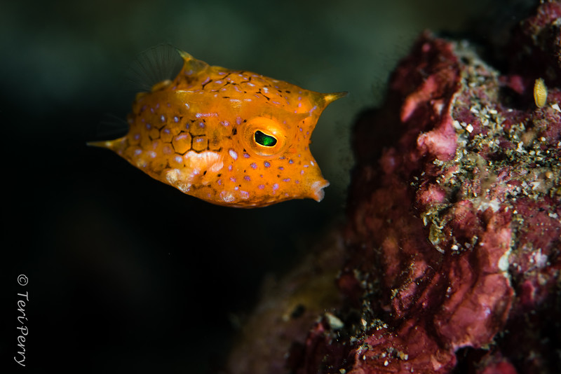 FISH -cowfish_DSC9693-Edit.jpg