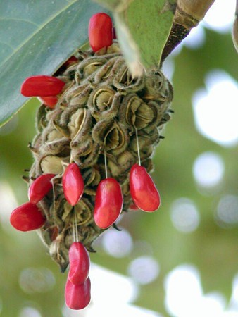 Magnolia Seed Pods October 2005