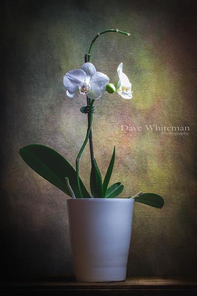Kitchen Orchid.jpg
