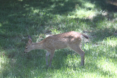 Young deer in yard - July 15