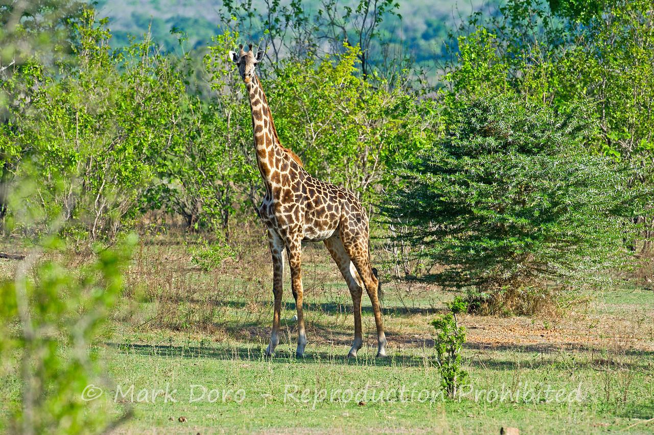 Giraffe, Selous, Tanzania