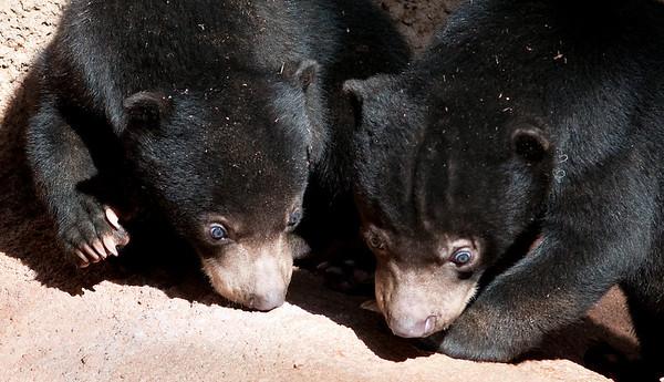 Sun Bear Cubs @ San Diego Zoo 3/16/2009