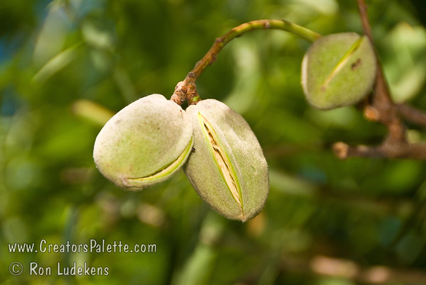 Non pareil Almond (Prunus dulcis)
